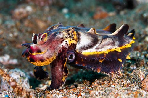 23 접사동상 신은수 Flamboyant Cuttlefish.jpg